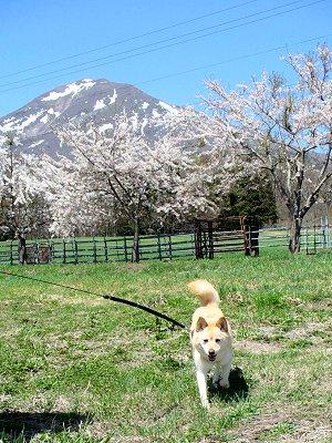 桜と、磐梯山とぶうこ