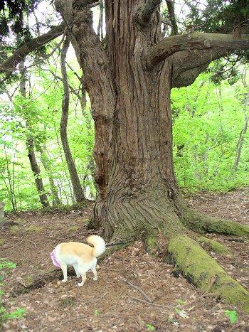 大きな杉の木の下で?
