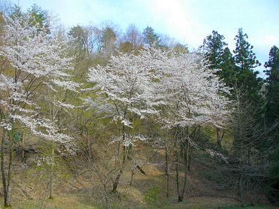 山桜は見ていた・・・