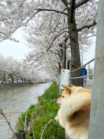 川面にせまる桜