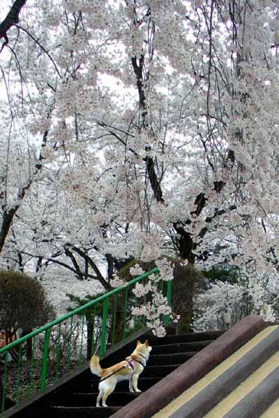 しだれ桜満開です♪
