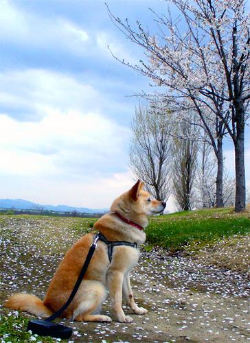 さよなら桜。。。
