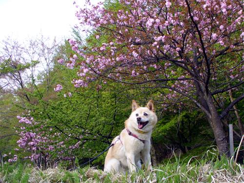 やえ桜も。