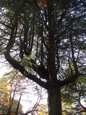 大きーい!木