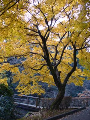みごとな黄葉