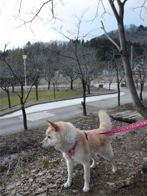 桜、まだまだ。