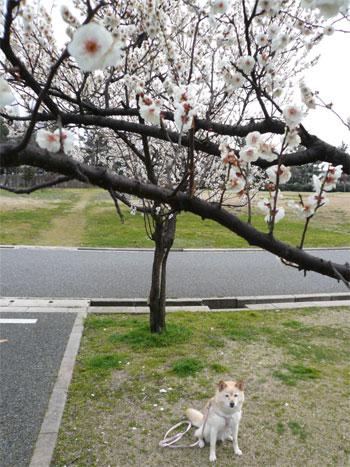 桜は、まだまだかいな。