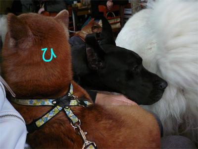 覗き込む看板犬