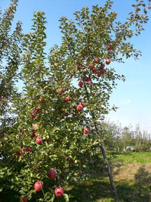 りんごも買ったし♪