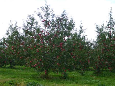 三水のりんご!