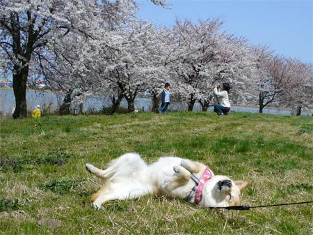 スポーツ公園桜並木