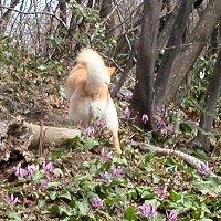 ぶうこの足元にカタクリの花